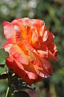 Rose in the Rosarium Uetersen, Schleswig Holstein, Germany