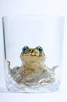 European green toad (Bufo viridis) in a clas