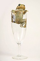 European green toad (Bufo viridis) in a Champagne glas