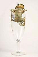 European green toad (Bufo viridis) in a Champagne glas