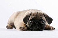 Pug, puppy