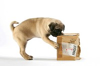 Pug, puppy with cardbox