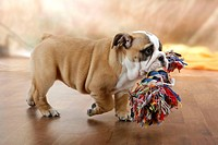 English Bulldog, puppy, 10 weeks with toy