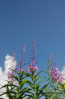 Blue Sky And A Orchid