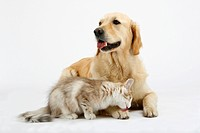 Golden Retriever and Norwegian Forest Cat