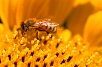 Bee On Sunflower Stamen
