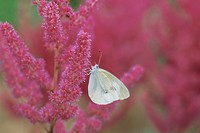Flower And A Cabbage White