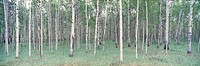 White Birch Wood