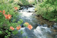 An Azalea And A Mountain Stream
