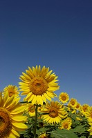 Blue Sky And A Sunflower