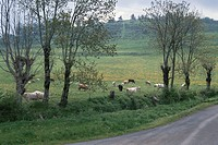 Cow Of An Alley And A Pasture In Germany
