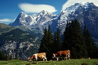 A Cow And A Mountain