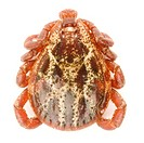 Tick Dermacentor marginatus