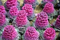 A Red Ornamental Kale