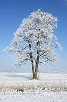 Winter tree, alder with hoarfrost