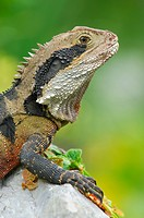 Australian Water Dragon (Physignathus lesueurii) , Australia