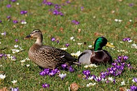 Male and female mallard in a blooming crocus-meadow (Anas platyrhynchos)