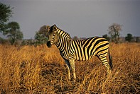 Zebra in Krueger National Park, South Africa, Africa