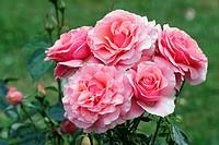 Rose - Rosa Poesie