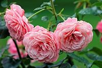 Rose - Rosa Heckenzauber