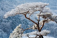 Pine (Pinus) in winter