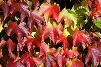 Boston ivy - japanese creeper - japanese ivy (Parthenocissus tricuspidata)
