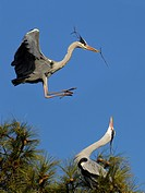 Flying European grey heron (Ardea cinerea) with nesting material