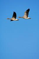 Greylag Geese (Anser anser) flying
