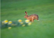 European Brown Hare (Lepus timidus) running across meadow