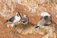Gulls (Rissa tridactyla) at nest with chick