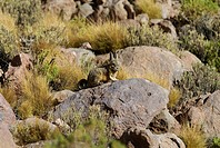 Viscacha (Lagostomus maximus), Uyuni Highlands, Bolivia