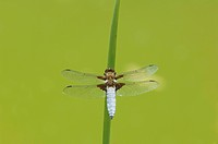 Broad-bodied Chaser (Libellula depressa) at reed culm
