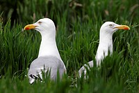 Herring gull – pair of herring gulls (Larus argentatus)