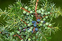 Common juniper - branch with fruits - juniper berrys (Juniperus communis) - Lueneburg heath, Lower Saxony, Germany,