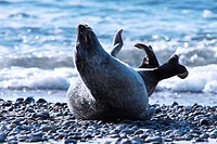 Common Seal (Phoca vitulina)