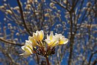Plumeria alba, Frangipani Tree in blossom, Ibo Island, Mozambique, Africa