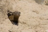 Dwarf mongoose (Helogale parvula), Kruger National Park, South Africa, Africa