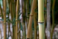 Bamboo, Bambusoideae, Bambuseae