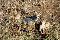 Three young Black-backed jackals (Canis mesomelas) Serengeti National Park Tanzania