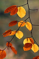 Common beech - european beech - leaves in autumn colours - colourful foliage Fagus sylvatica