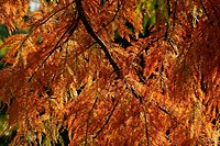 Pond cypress var. Nutans in autumn colours (Taxodium ascendens var. Nutans)