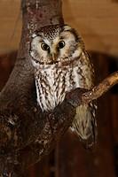 Tawny owl (Aegolius funereus)