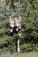 Two young Saarloos wolf dogs