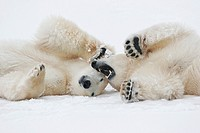 Two playing polar bears Ursus maritimus, Churchill, Manitoba, Canada