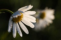 Oxeye Daisy or Marguerite (Leucanthemum vulgare), Bayrischer Wald (Bavarian Forest), Bavaria, Germany, Europe