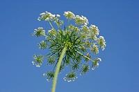 Fennel, Umbel blossom