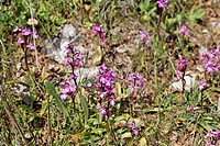 Four-spotted Orchids (Orchis quadripunctata), Lasithi Plateau, Crete, Greece, Europe
