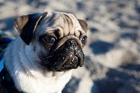 A young pug on the beach