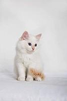 White Neva-Masquarade kitten