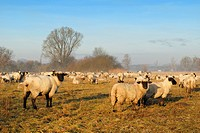 Flock of sheep (Ovis orientalis aries) in the meadow - Baden Wuerttemberg, Germany, Europe.
